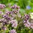 Stock Photo: Wild marjoram blossoms in garden and butterfly