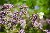 Wild marjoram blossoms in garden and butterfly — Stock Photo