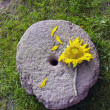 Stock Photo: Sunflower blossom on ancient millstone