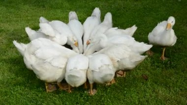 White domestic gooses group in the farm — Stock Video