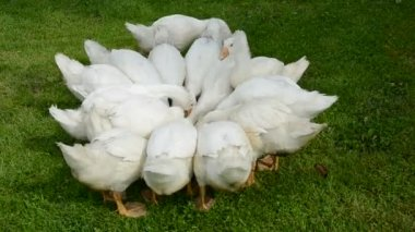 Domestic white gooses group nutrition in the farm