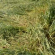 Stock Video: Flatten wheats field after summer storm