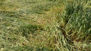Flatten wheats field after summer storm — Stock Video
