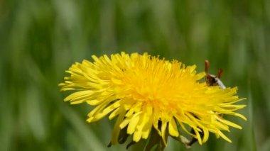 Chafer start flying on dandelion flower — Stock Video