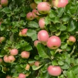 Apples on branches and summer wind — Vidéo
