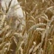 Stock Video: Farmer hands pluck wheat ears