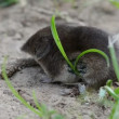 Stock Video: Mammal Common shrew Sorex araneus on summer grass