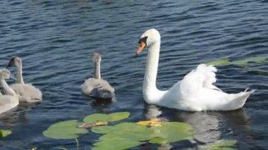 Witte zwanen familie met juveniele in lake — Stockvideo