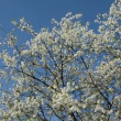 Stock Video: Spring cherry tree blossoms and wind