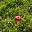 Red autumn apple fall down on grass — Stock Video