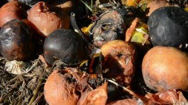 Herfst vlinder red admiral op rotte appels — Stockvideo