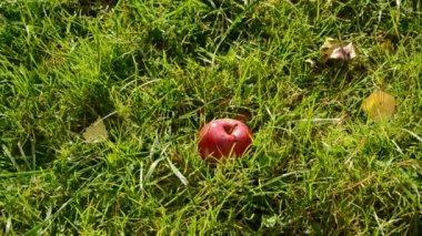 Pomme rouge tombant sur l'herbe du jardin — Vidéo