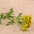 Stock Photo: Medical herb tansy(Tanacetum vulgare) on cloth