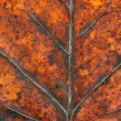 Dry autumn tulip tree leaf background — Stock Photo