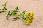 Medical herb tansy(Tanacetum vulgare) on cloth — Stock Photo