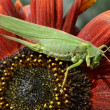 Green grasshopper on sunflower blossom — Stock Video