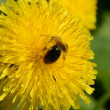 Bee on yellow dandelion blossom — ストックビデオ