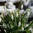 Stock Video: Spring snowdrops with snow