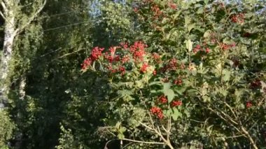 Autumn viburnum red berry and wind — Stock Video