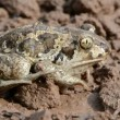 Frog Pelobates fuscus on ground after rain - Stock Photo