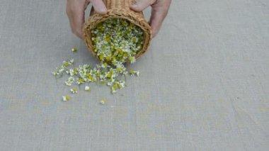 Flores de manzanilla frescas hierbas medicinales sobre lienzo — Vídeo de Stock