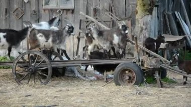 Many goats and goats kids on derelict carriage — Stock Video