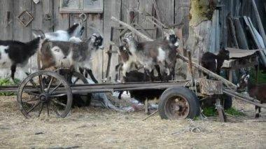 Muitas cabras e filhos de cabras na carruagem abandonada — Vídeo Stock