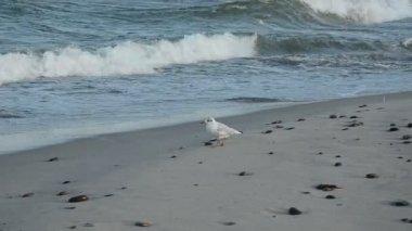 Seagull på sea beach sand — Stockvideo
