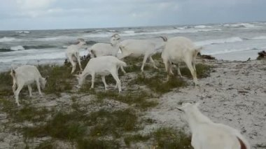 Goats on the sea beach in summer end time — Stock Video