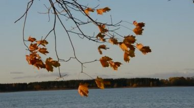 Autumn maple leaves in the wind — Vídeo Stock