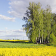 Rural landscape with birches and rapes field — 图库照片