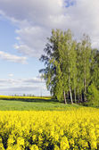 Rural landscape with birches and rapes field — Stock Photo