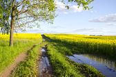 Summer rapes field and farm road — Stock Photo