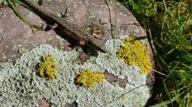 Common lizard (Lacerta vivipara) on summer stone — Stock Video
