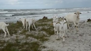 Goats group on the sea beach — Video Stock