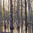 Stock Photo: Early spring birch tree forest and melt-water