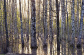 Early spring birch tree forest and melt-water — Stock Photo