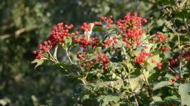 Vento e autunno viburno rosso berry — Video Stock