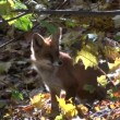 Stock Video: Beautiful mammal fox in autumn forest
