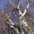 Old birch tree in autumn and camera rotate — Stock Video