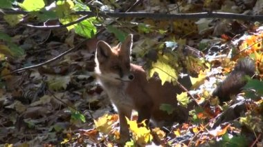 Beautiful mammal fox in autumn forest — Stock Video