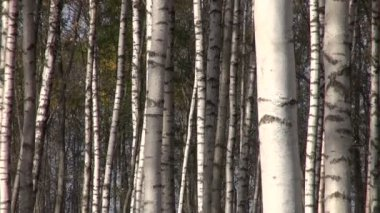 Birch tree golden forest in october — Stock Video