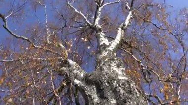 老白桦树在秋天和相机旋转 — 图库视频影像