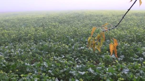 Niebla y otoño rama de arce — Vídeo de stock
