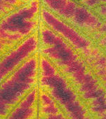Blackberry plant autumn leaf colorful background — Stock Photo