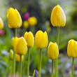 Blur spring morning tulips in flower bed — Stock Photo