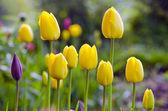 春の朝チューリップの花壇でのぼかし — ストック写真