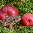 Amphibian big common toad (Bufo bufo) and red apples — Stock Video
