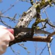 Trimming apple tree branch in spring with saw — Stock Video