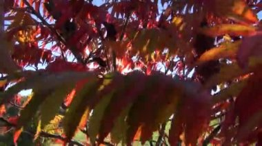 Beautiful autumn leaves and sunlight — Stock Video
